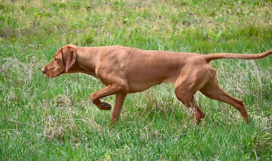 Wirehaired Vizsla Pointing